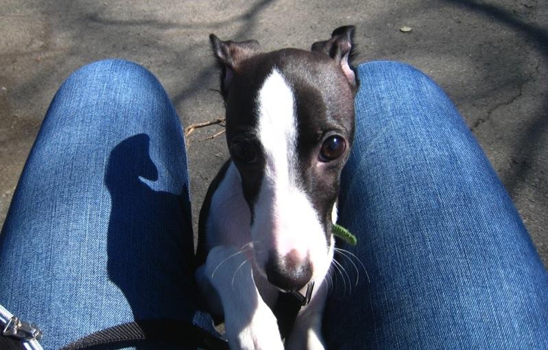 Newton - Italian Greyhound puppy